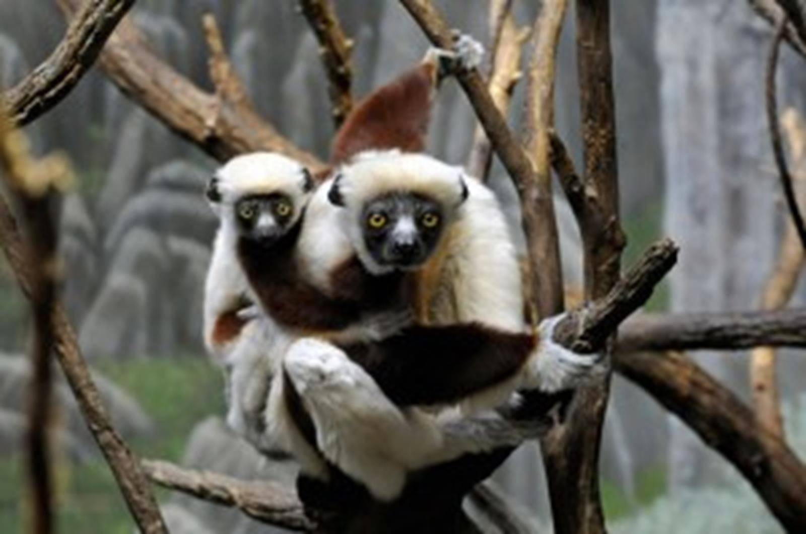 Coquerel's Sifaka and Baby (Photo Courtesy of Julie Larsen Maher & BronxZoo.com)
