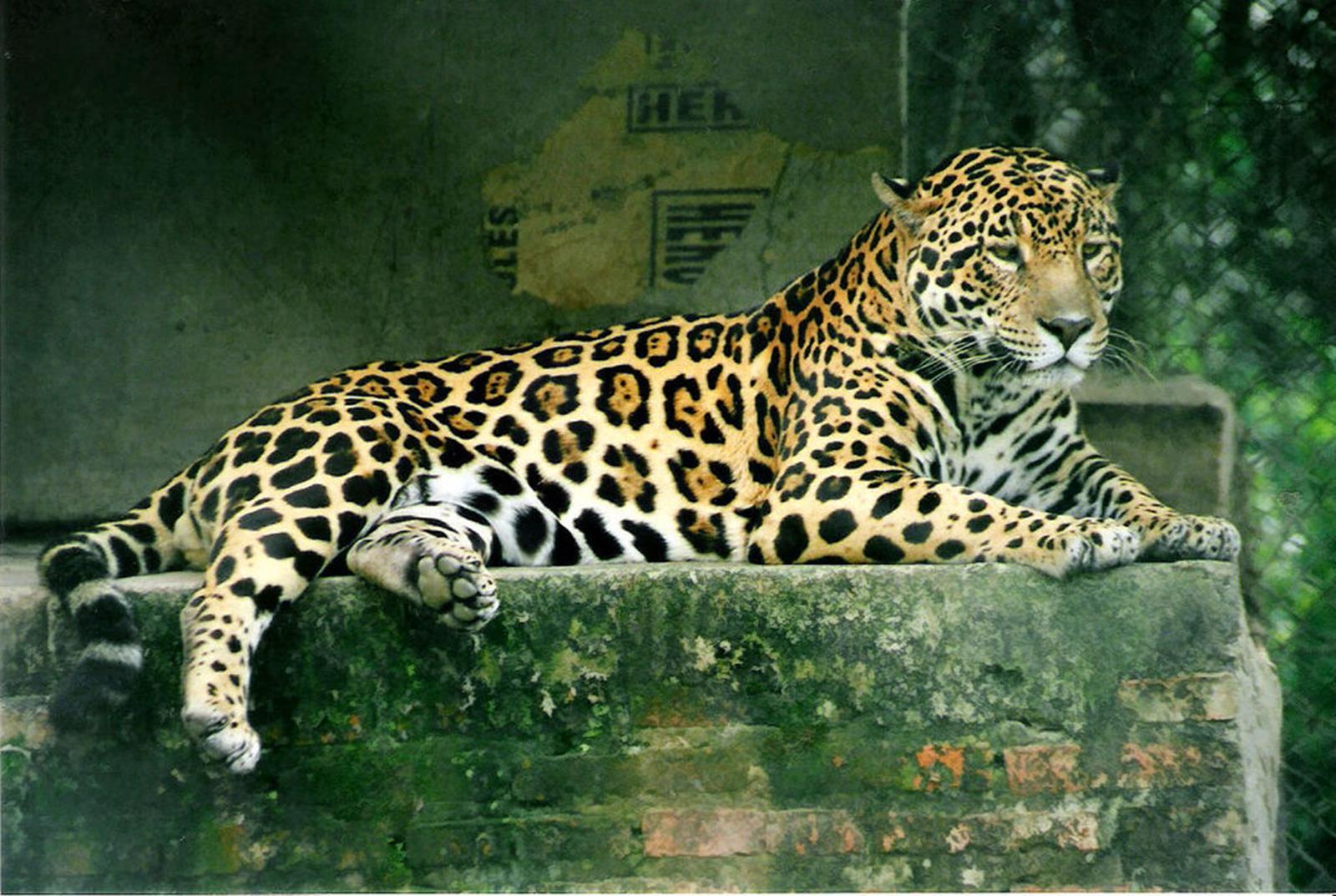 Jaguar. Credit