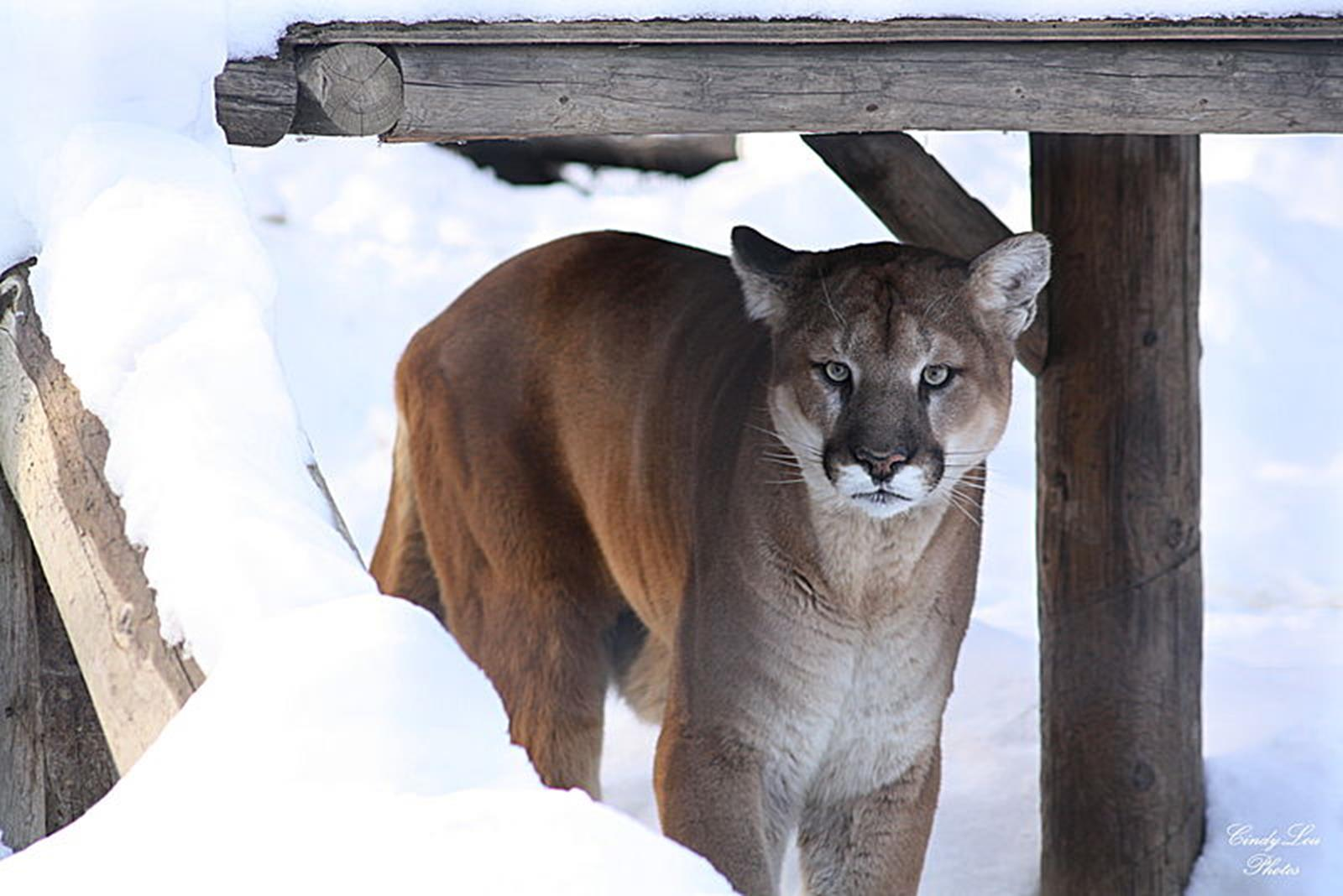 Mountain Lion. Credit