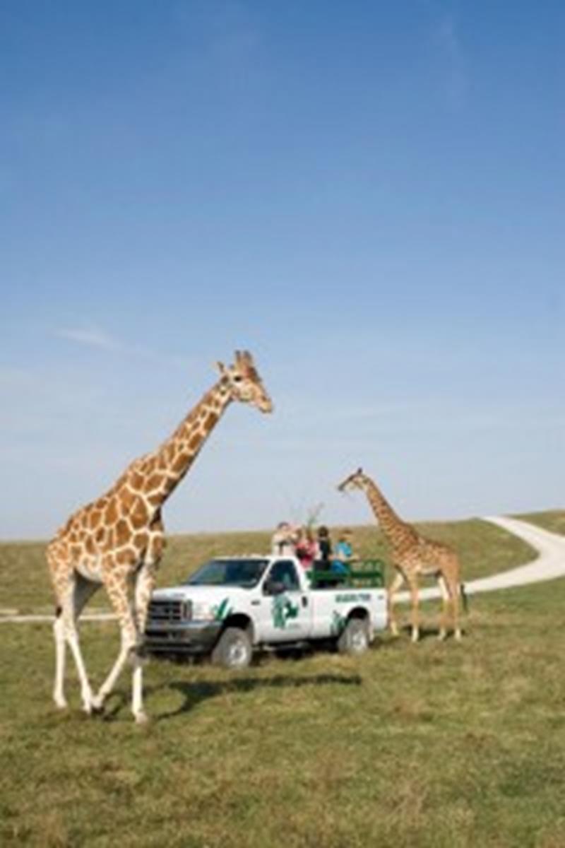 Wilds giraffes