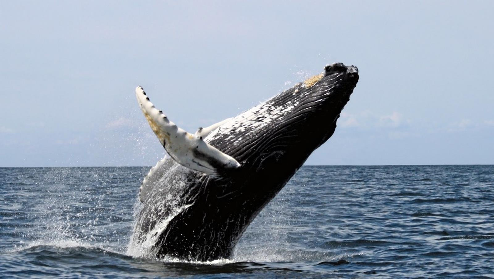 Humpback whale leaping out of the ocean waters in Stellwagen Bank National Marine Sanctuary. Credit: Whit Welles at en.wikipedia