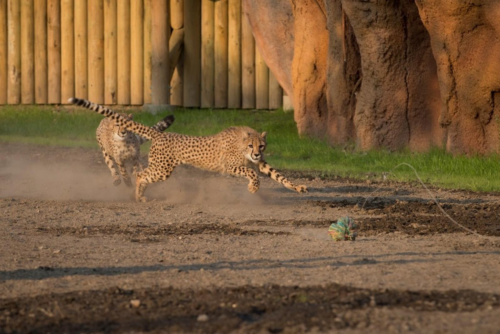 Cheetah Run at Heart of Africa at Columbus Zoo. Credit: Grahm S. Jones.
