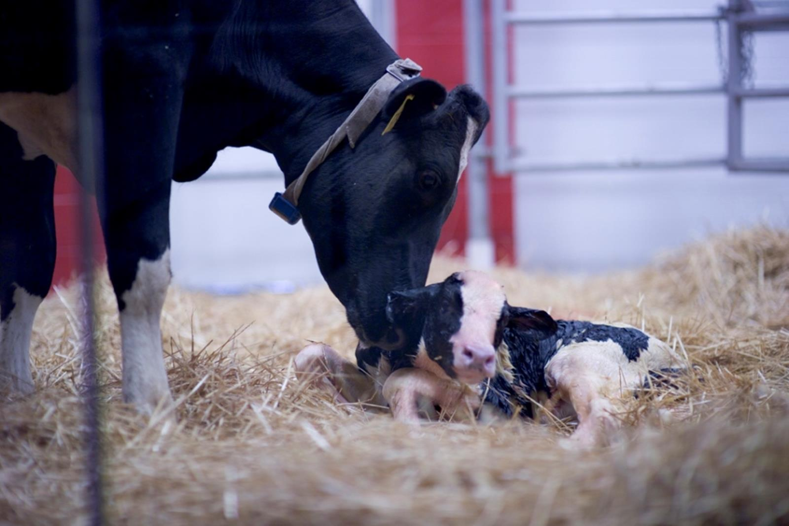 A mother and calf in the birthing barn. Credit: Fair Oaks Farms