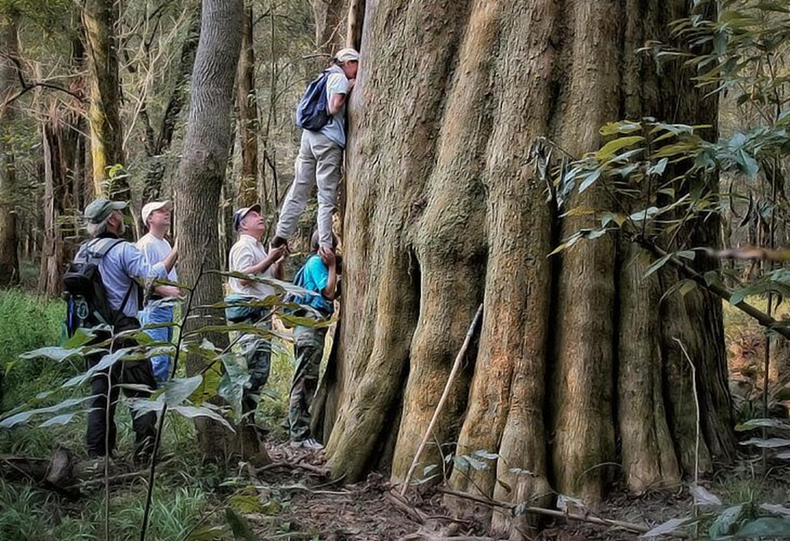 Large Bald Cypress Congaree National Park: Capital City/Lake Murray Country Regional Tourism Board