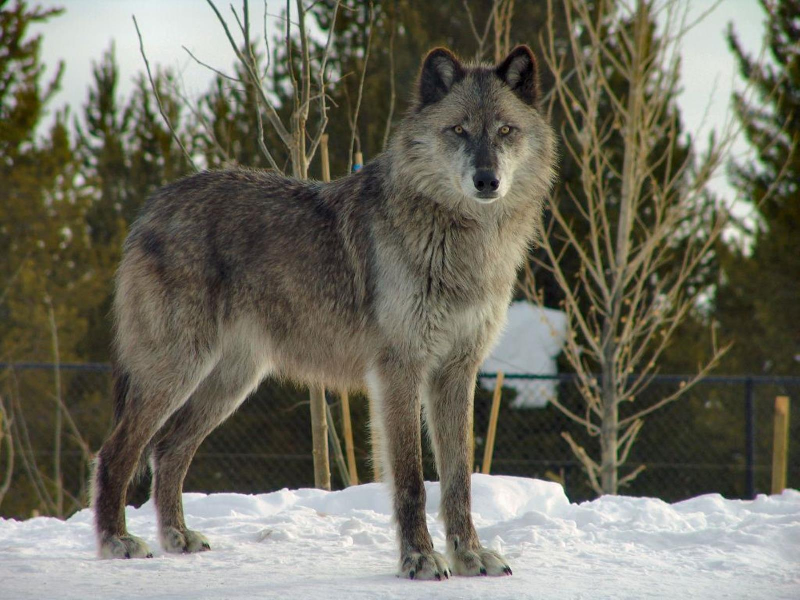 Wolf at the Grizzly and Wolf Discovery Center. Credit Dennis Matheson at en.wikipedia