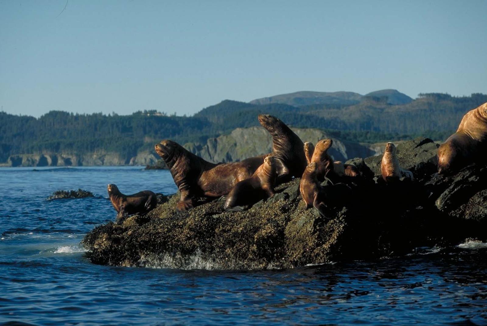 Alaskan sea lions. Credit: travelalaska.com