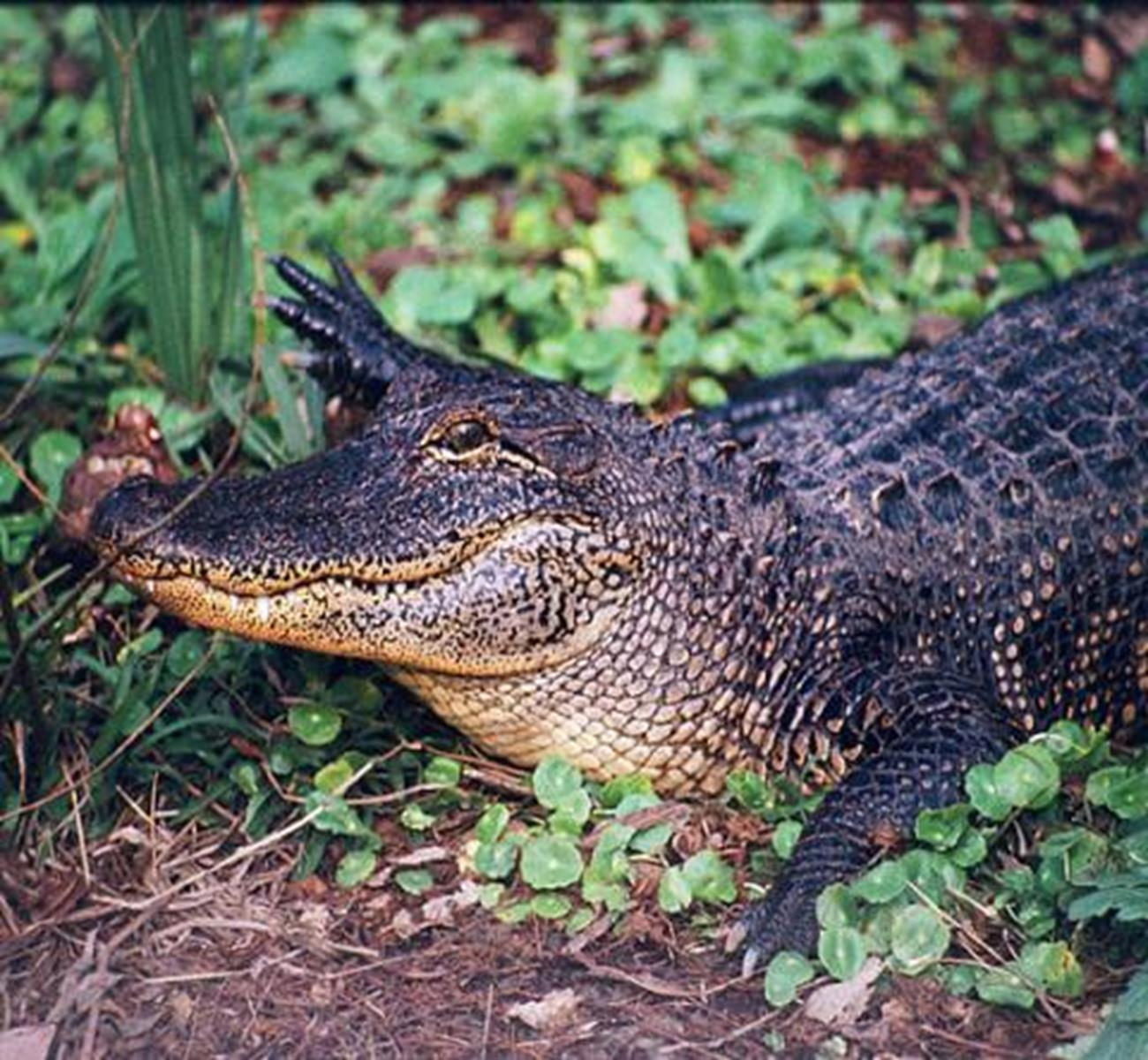 Jungle Gardens Alligator Credit: Iberia Parish