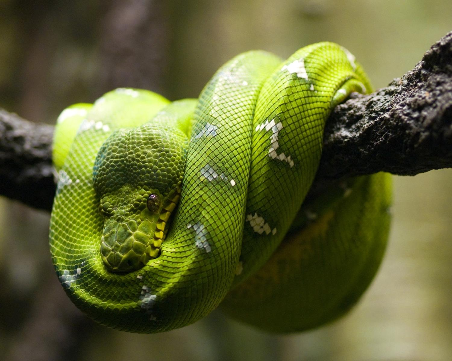 An Emerald Tree Boa at Clyde Peeling's Reptiland. Credit: Mrweatherbee at en.wikipedia