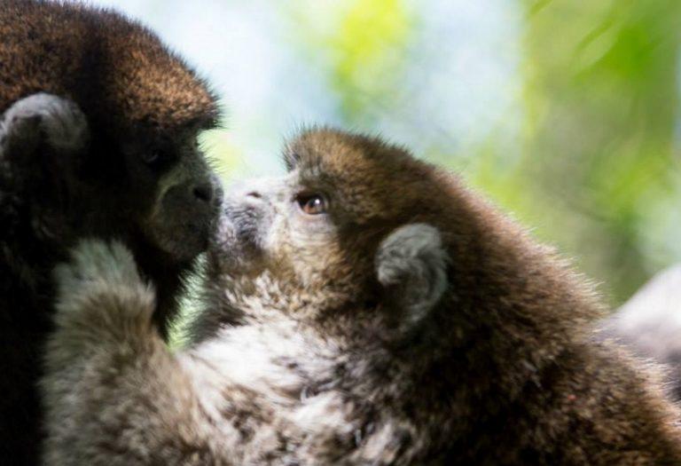 Bolivian-Gray-Titi-Monkey-768x525