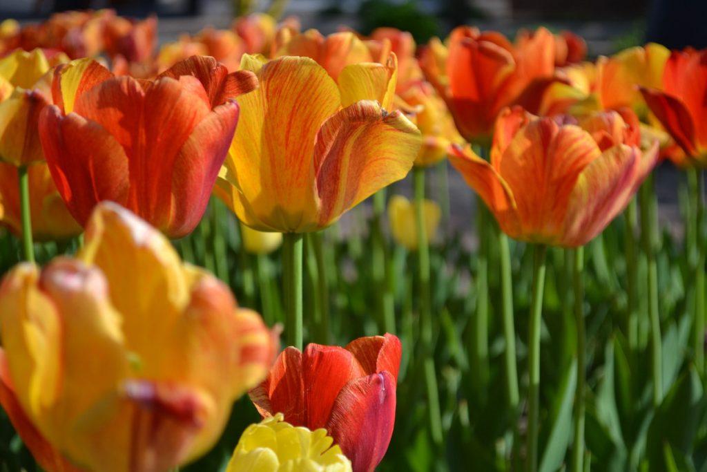 Tulip Time Festival 3