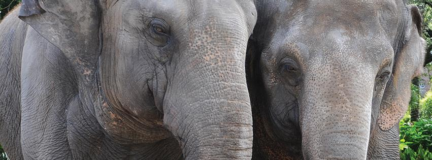 asian-elephants