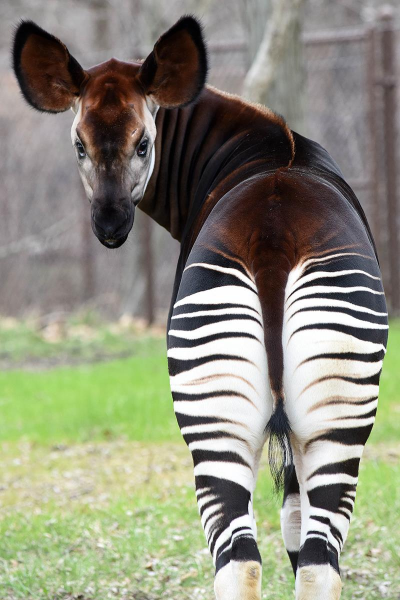 2016: An okapi, also known as a forest giraffe, can be seen in Brookfield Zoo's Habitat Africa! The Forest. Photo: Chicago Zoological Society.