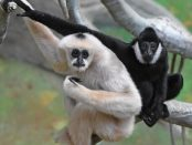 2956: White-cheeked gibbons in Brookfield Zoo's Tropic World: Asia habitat. Photo: Chicago Zoological Society.