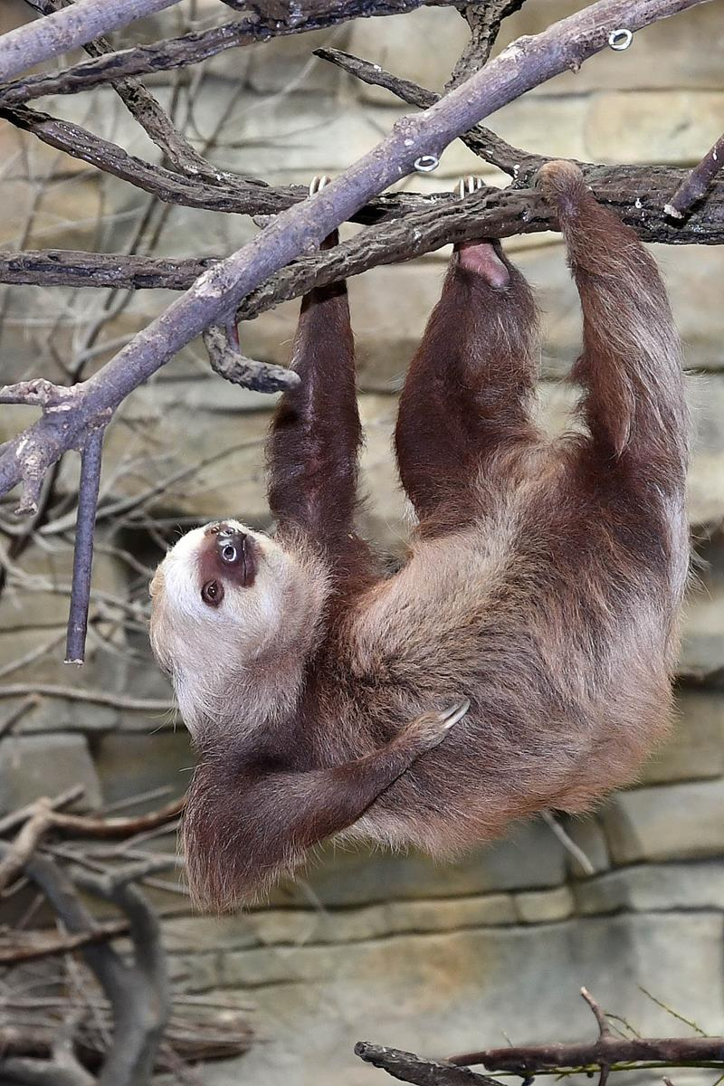 4706: A two-toed sloth moves across a vine in Brookfield Zoo's Tropic World: South America habitat. Photo: Chicago Zoological Society.