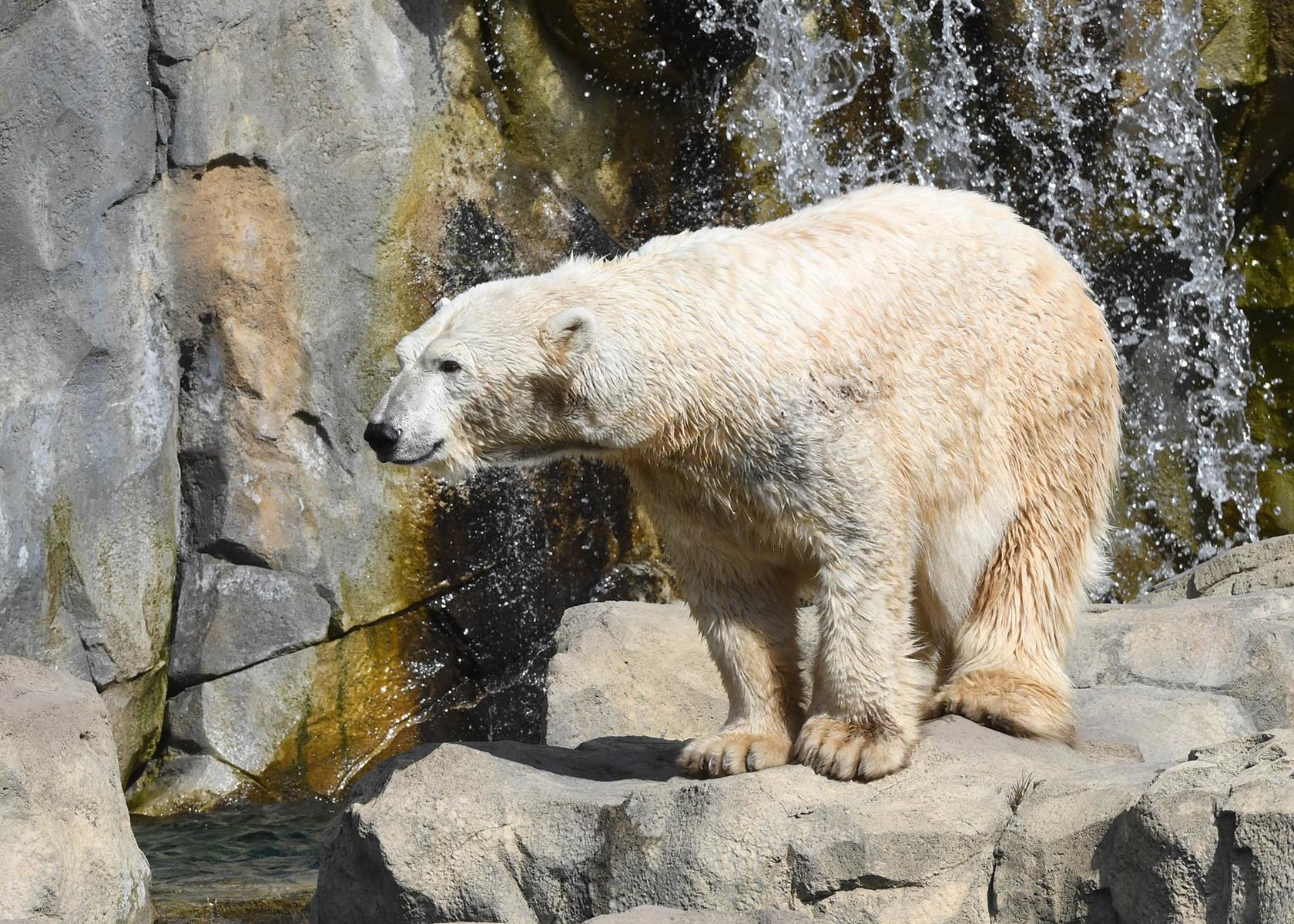 6084: A polar bear at Brookfield Zoo's Great Bear Wilderness. Photo: Chicago Zoological Society.