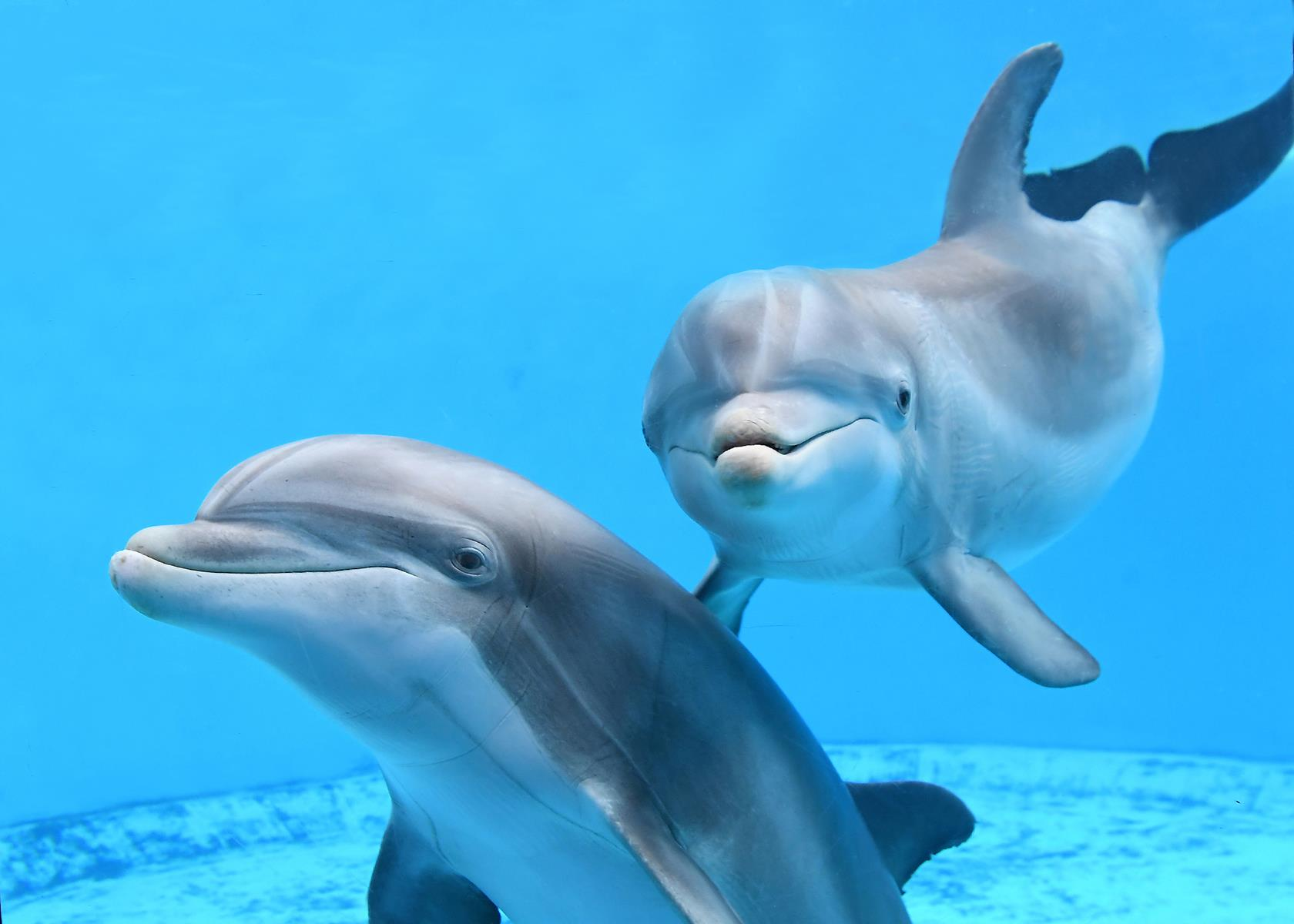 8813: Dolphins can be seen daily at Brookfield Zoo's Dolphins in Action. Photo: Chicago Zoological Society.