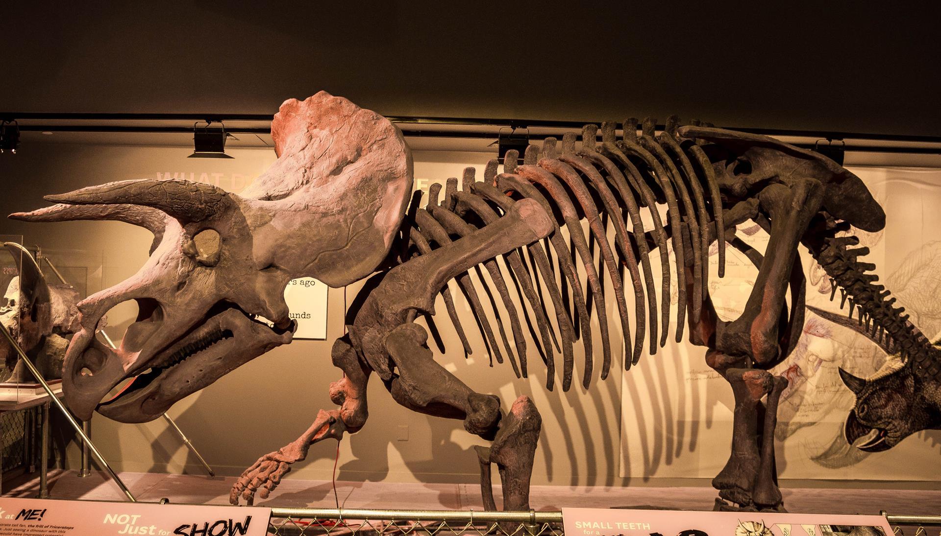 Dinosaur Resource Center - Woodland Park triceratops-Triceratops-horridus