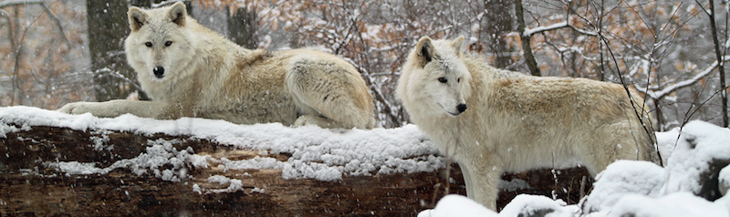 Wolves viewed from a distance at Lakota Wolf Preserve
